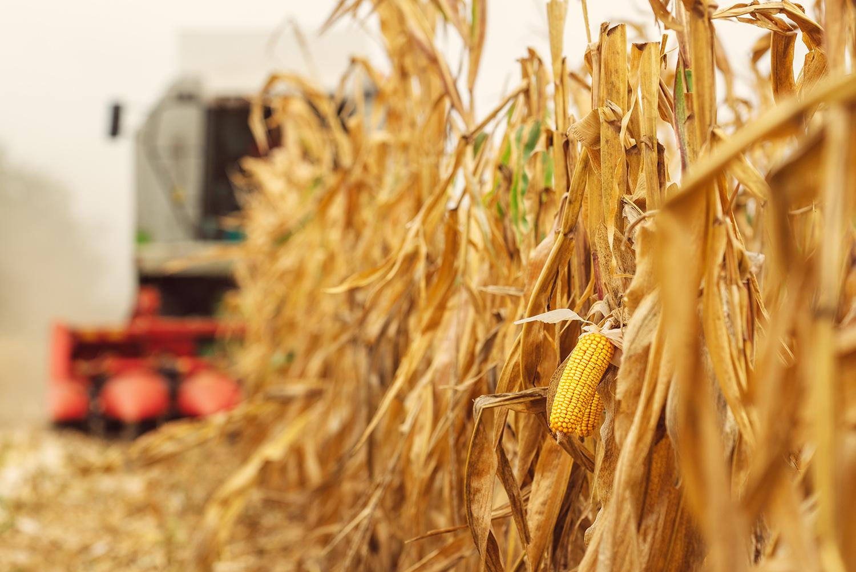 Harvesting corn crop field. Combine harvester working.