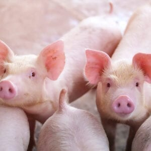 Swine